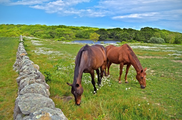 Photograph of horses grazing on North Road in Chilmark, Martha's Vineyard