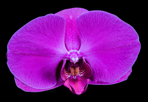 Purple Orchid 1-Edit-Edit