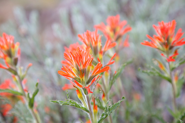 Indian Paintbrush with Sage