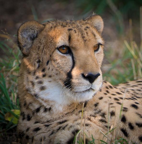 Denver Zoo Photos - Lion, Cheetah, Black Bear...