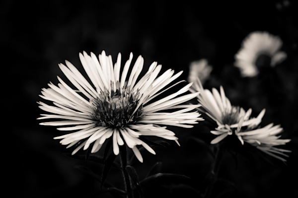 Black white floral photograph of wild ontario asters in still life for sale as