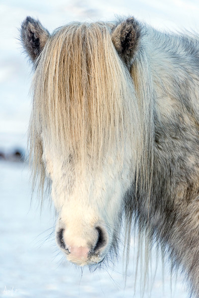 Gray Icelandic horse with mane covering face, in an art photograph