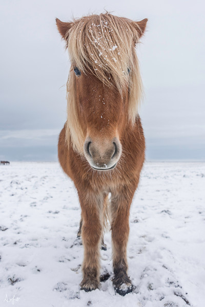Art photograph of Icelandic brown horse with snow on its hairy mane facing camera