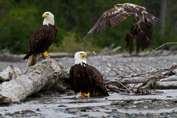 Eagles of Chilkat