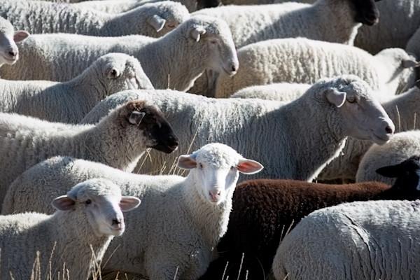 I'm not really a follower-sheep