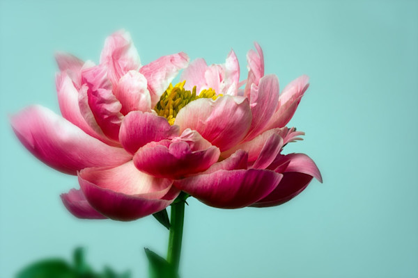A stunning pink peony shows off its petals against a bright blue background in this photo by award-winning Arizona photographer Jennifer S. Beavers titled Brighter Day 1.