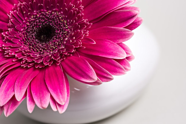 A bright infusion of fuschia makes the Gerber Daisy pop in this color version by photographer Jennifer Beavers.
