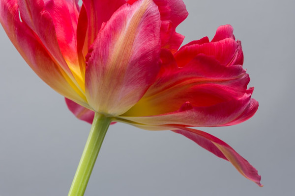 In Spring Affirmation 4, award-winning photographer Jennifer Beavers captures the rich beauty of a tulip bloom. This image is digitally printed on high-quality archive matte paper, delivering rich color and elegant beauty.