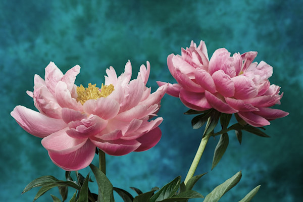 Beautifully contrasted with a deep blue background, these peony blossoms in Spring Infatuation 1 by Jennifer Beavers grab the viewer's attention.