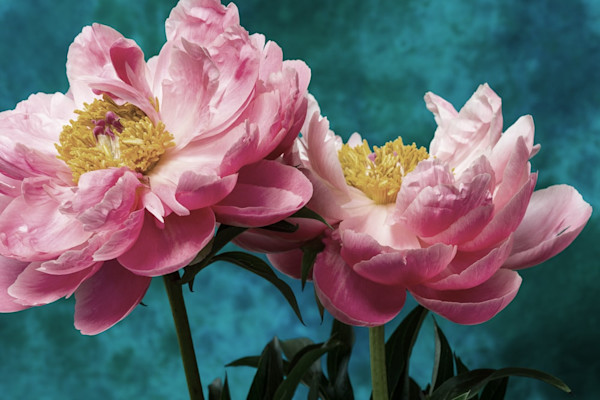 Brilliant against a deep blue background, the intricate detail of these two stunning pink peony blossoms draws the viewer in.