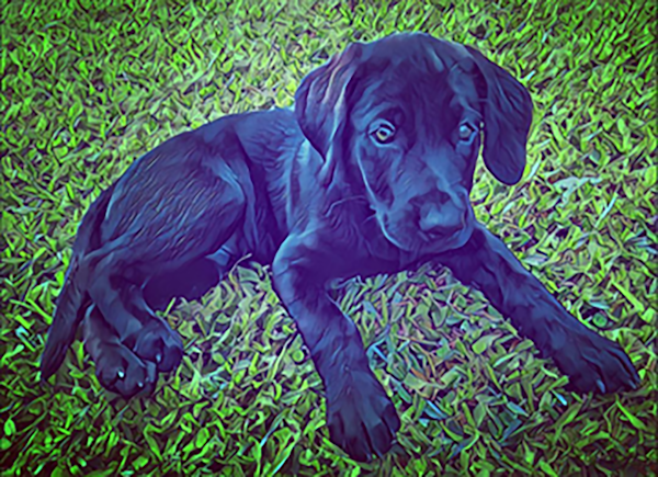 Lab Pup by Erin McNutt