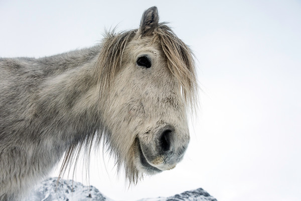 Gray white Icelandic horse from below with white sky, in art photograph