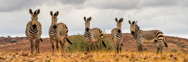 Panorama of a family of 5 zebras in a row looking at camera