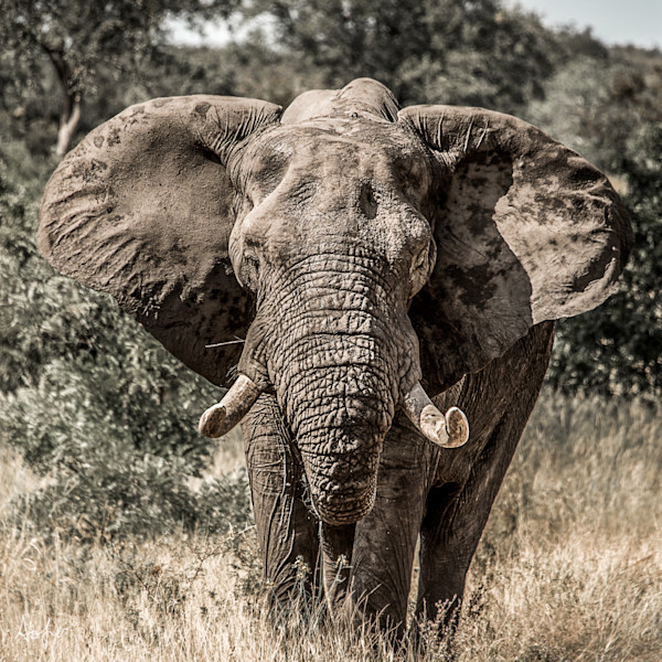 An African bull elephant with big tusks facing camera, in photograph art