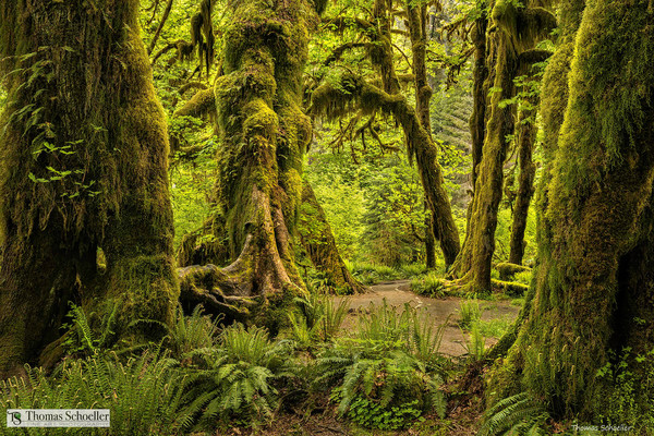 Hall of Mosses is deep within the mysterious Hoh rainforest of Olympic National Park / Washington State creative landscape fine art photography prints by Tom Schoeller