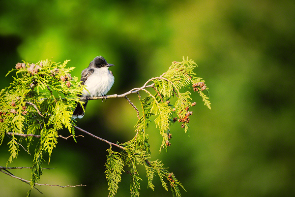 The Eastern Kingbird of Washington state perched on a tree branch.