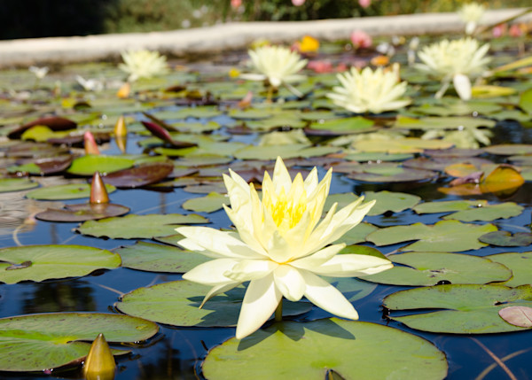 White Lily Pads | Fine Art Travel Photo