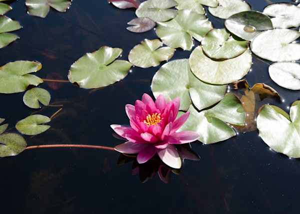 Pink Lily Pad | Travel Photography