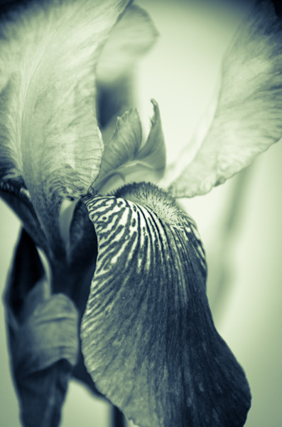 Abstract Japanese Iris Delight Limited Edition Signed Fine Art Nature Photograph by Melissa Fague