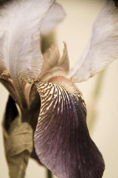 Japanese Iris Delight Aged Limited Edition Signed Fine Art Nature Photograph by Melissa Fague
