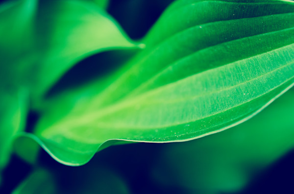 Mellow Hosta Leaves Limited Edition Signed Fine Art Nature Photograph by Melissa Fague