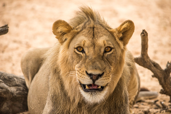 Young lion looking at camera with small grin in an art photograph