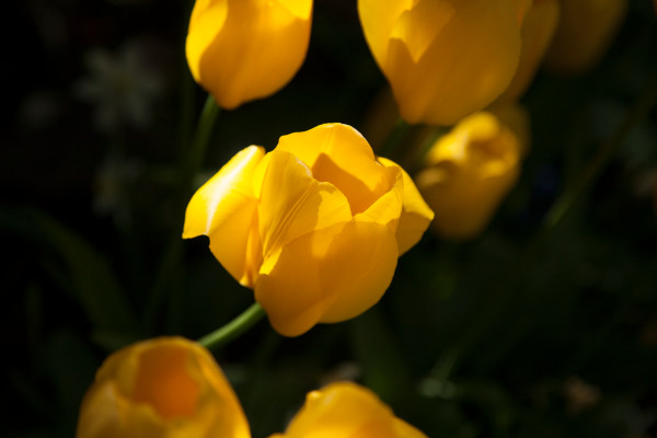 Yellow Tulip Under the Sun, Flower Photographs – Fine Art Prints on Acrylic, Canvas, Paper, Metal & More