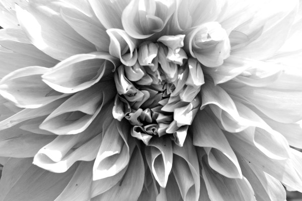 Bright Bloom B&W by Michele Taras | SavvyArt Market photograph