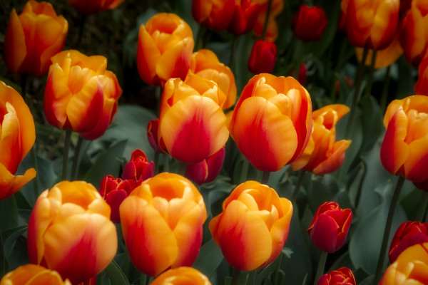 Bed of Orange Tulips, Flower Photographs – Fine Art Prints on Acrylic, Canvas, Paper, Metal & More