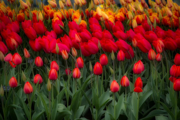 Rows of Tulips in the Wind, Flower Photographs – Fine Art Prints on Acrylic, Canvas, Paper, Metal & More