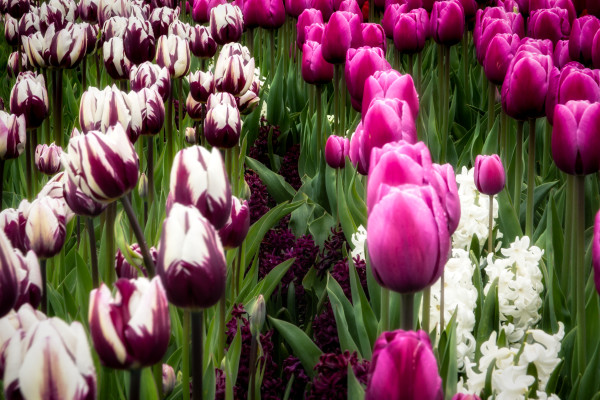 Bed of Purple and White Tulips, Flower Photographs – Fine Art Prints on Acrylic, Canvas, Paper, Metal & More