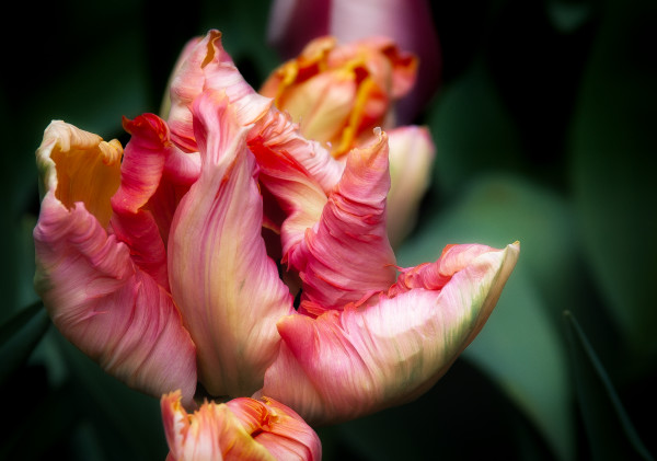 Frilly Edges, Flower Photographs – Fine Art Prints on Acrylic, Canvas, Paper, Metal & More