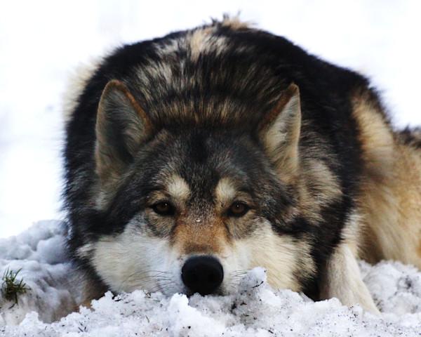 Best Selling Wolf Photographs by Lisa Warren for Sale as Fine Art