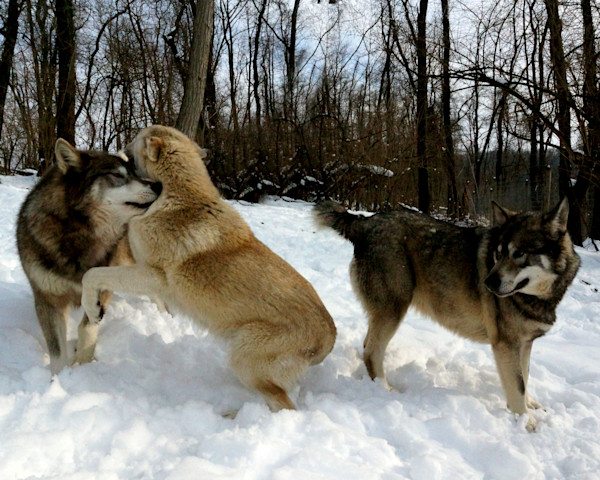Wolves in the Winter Photographs by Lisa Warren for Sale as Fine Art