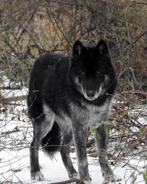 Lone Wolf Photographs by Lisa Warren for Sale as Fine Art