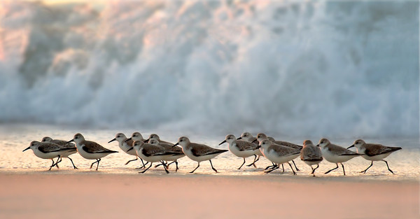 Marching Sanderlings