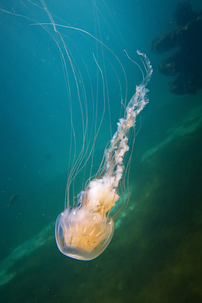Sea Nettle Jelly Fish