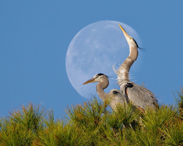 Heron Honeymoon