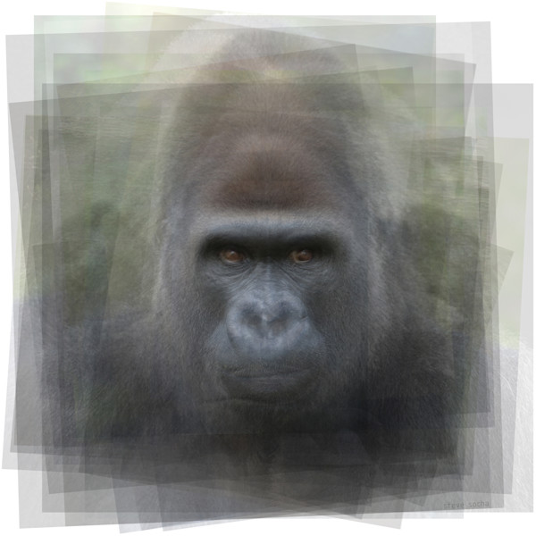 Overlay art – contemporary fine art prints of a Gorilla.
