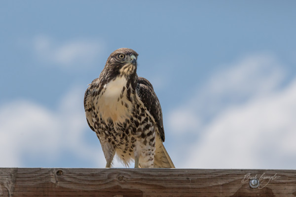 Juvenile Red Tailed Hawk Photo for sale by Barb Gonzalez