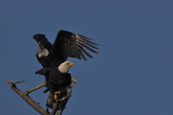 Second Eagle Landing on a Tree - MH Photography