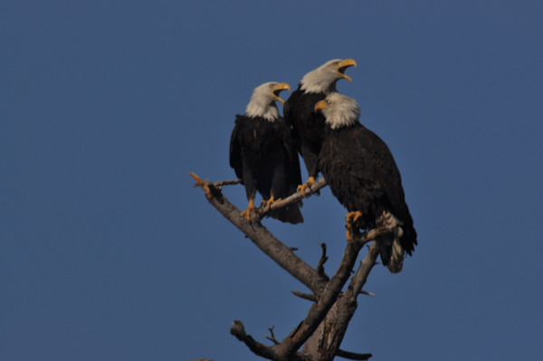 Three Eagles Squawking on Branch - MH Photography