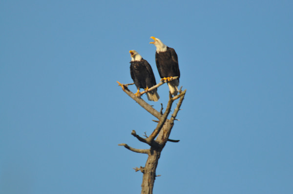 Two Eagles Perching - Product #12515397 - MH Photography