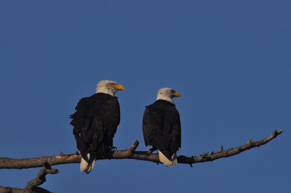 Two Eagles Looking Right - MH Photography