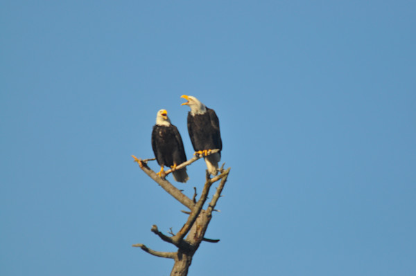 Two Eagles Perching - Product id#1251554 - MH Photography