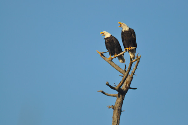 Two Eagles Squawking on Shared Branch - MH Photography