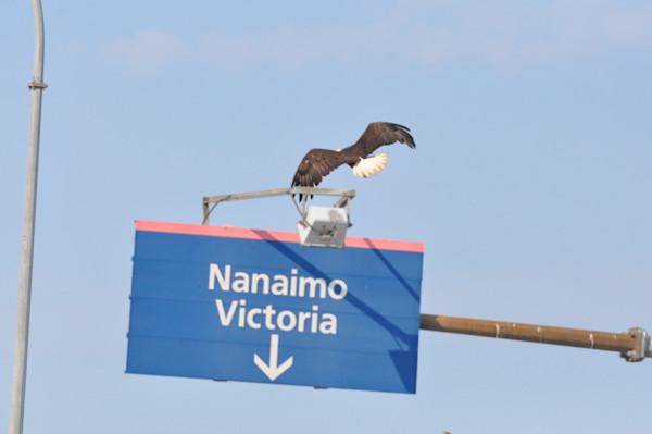 Tsawwassen Terminal Eagles - Photo #1259683 - MH Photography