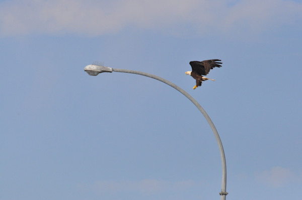Tsawwassen Terminal Eagles - Photo #1259680 - MH Photography