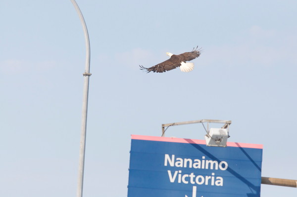 Bald Eagles at Tsawwassen Ferry Terminal - MH Photography