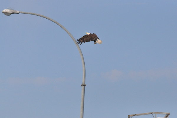 Tsawwassen Terminal Eagles - Photo #1259681 - MH Photography